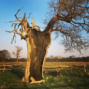 Unusual tree in Bushy Park